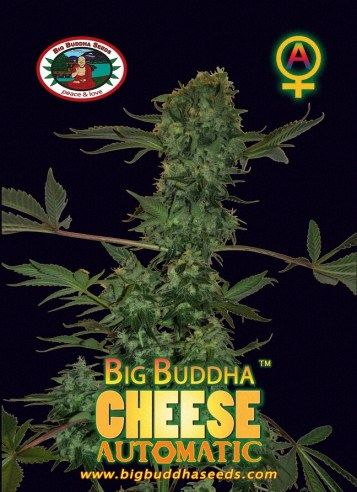 Big Buddha Cheese AUTOMATIC ™